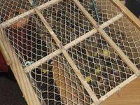 Casoria. Blitz in un appartamento: uomo fermato con l'accusa di detenzione illegale di cardellini