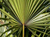 """Prostata """"in fiamme"""", cura da palma tropicale riduce di oltre il 60% il rischio di flop e di ricorso al bisturi"""