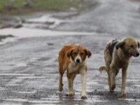 Randagismo a Casoria: provvedimenti in corso, le dichiarazioni della polizia locale