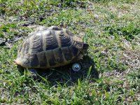 Camilla, la tartaruga che torna a camminare grazie ad una rotella