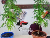 Frattamaggiore: in casa piante di cannabis, hashish e marijuana. carabinieri arrestano incensurato