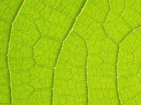 Clorofilla il sangue verde delle piante che aiuta a difenderci dall'attacco dei batteri